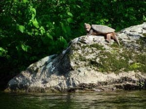 A turtle on a rock at Pigeon River Campground.